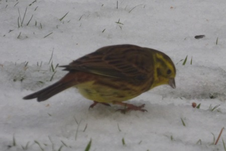 Yellowhammer in the snow