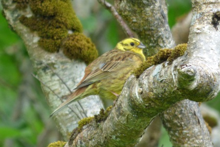 Yellowhammer in tree