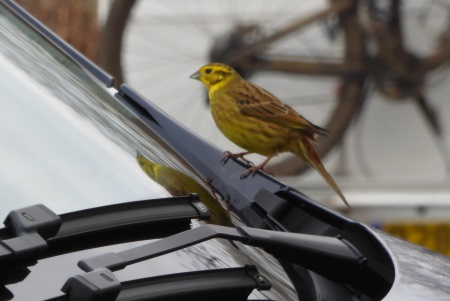 Yellowhammer on bus