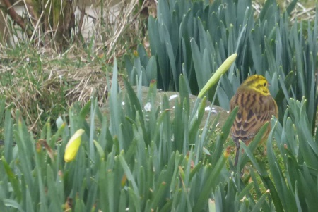 Yellowhammer pretending to be a                                     daffodil