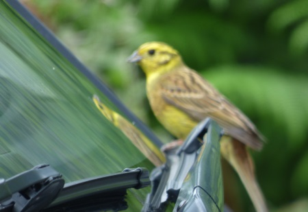 Yellowhammer                                     with reflection