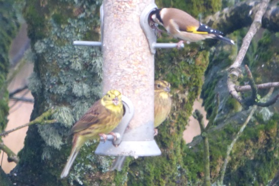 Yellowhammers on