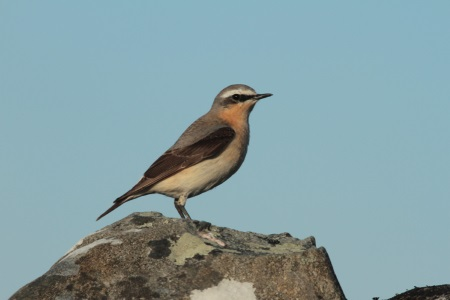 Wheatear msle AS
